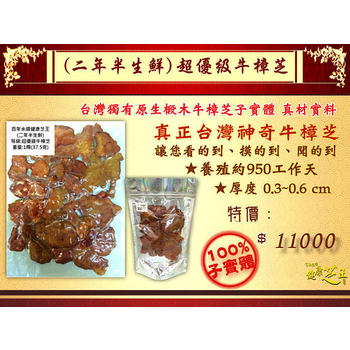 ★結帳現折★百年永續健康芝王 牛樟芝/菇(二年半超優級) 生鮮品 (37.5g /1兩)