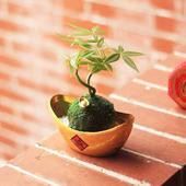 《Light+Bio》元寶發財樹植栽