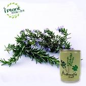 《iPant》易開罐頭花卉蔬果農場(迷迭香)